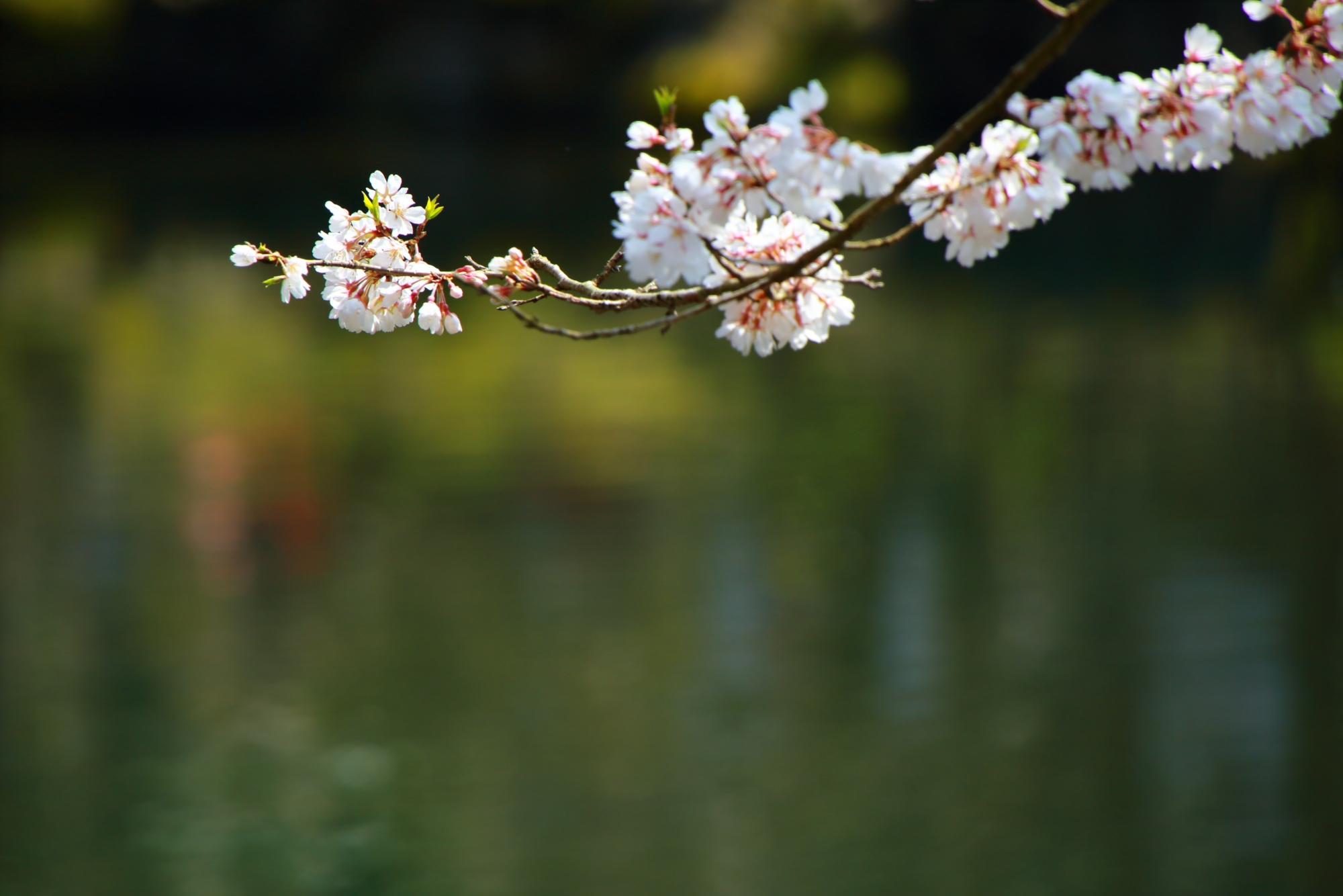 水面でそよぐ優美な桜