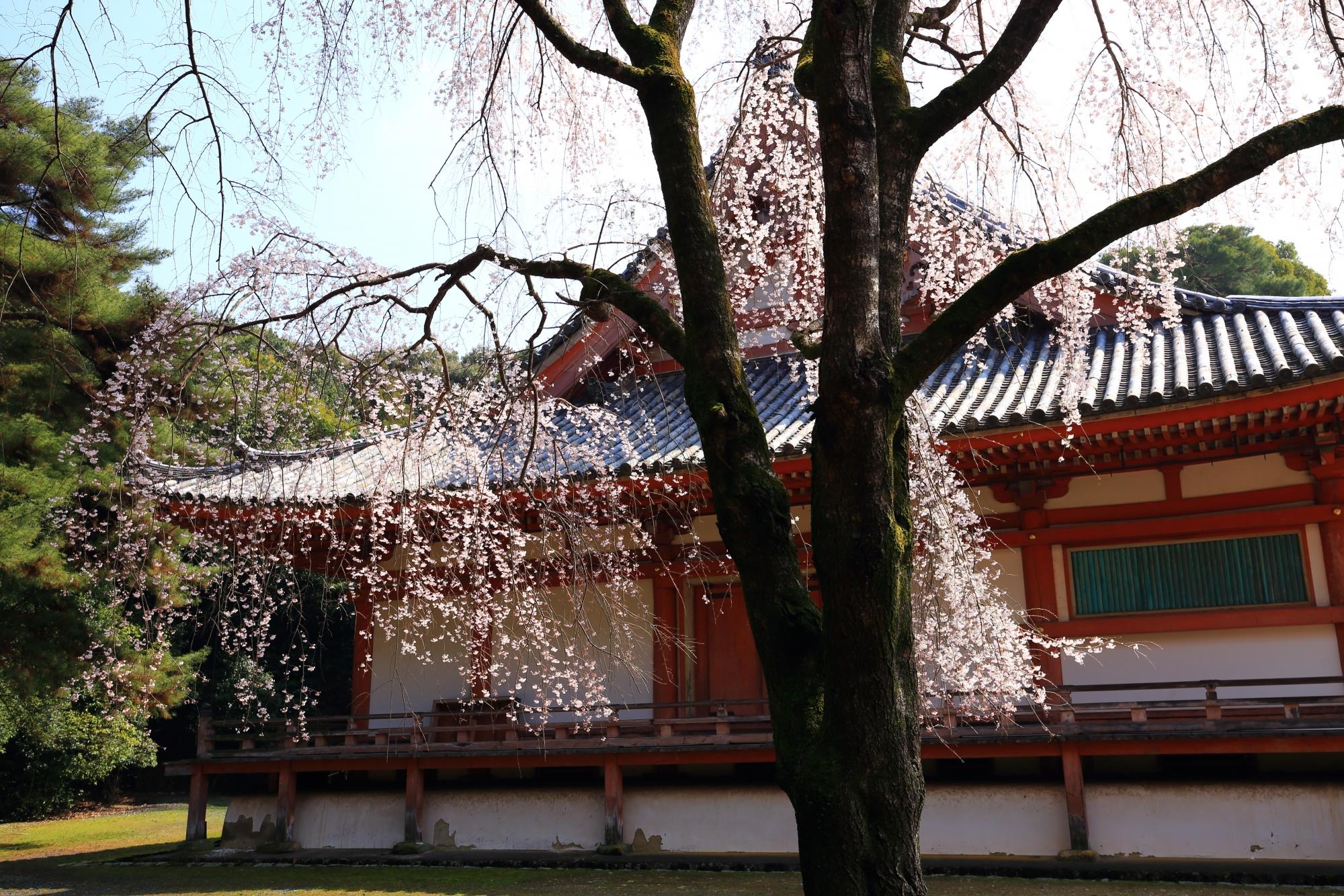 金堂の横でしなやかになびく見事な桜