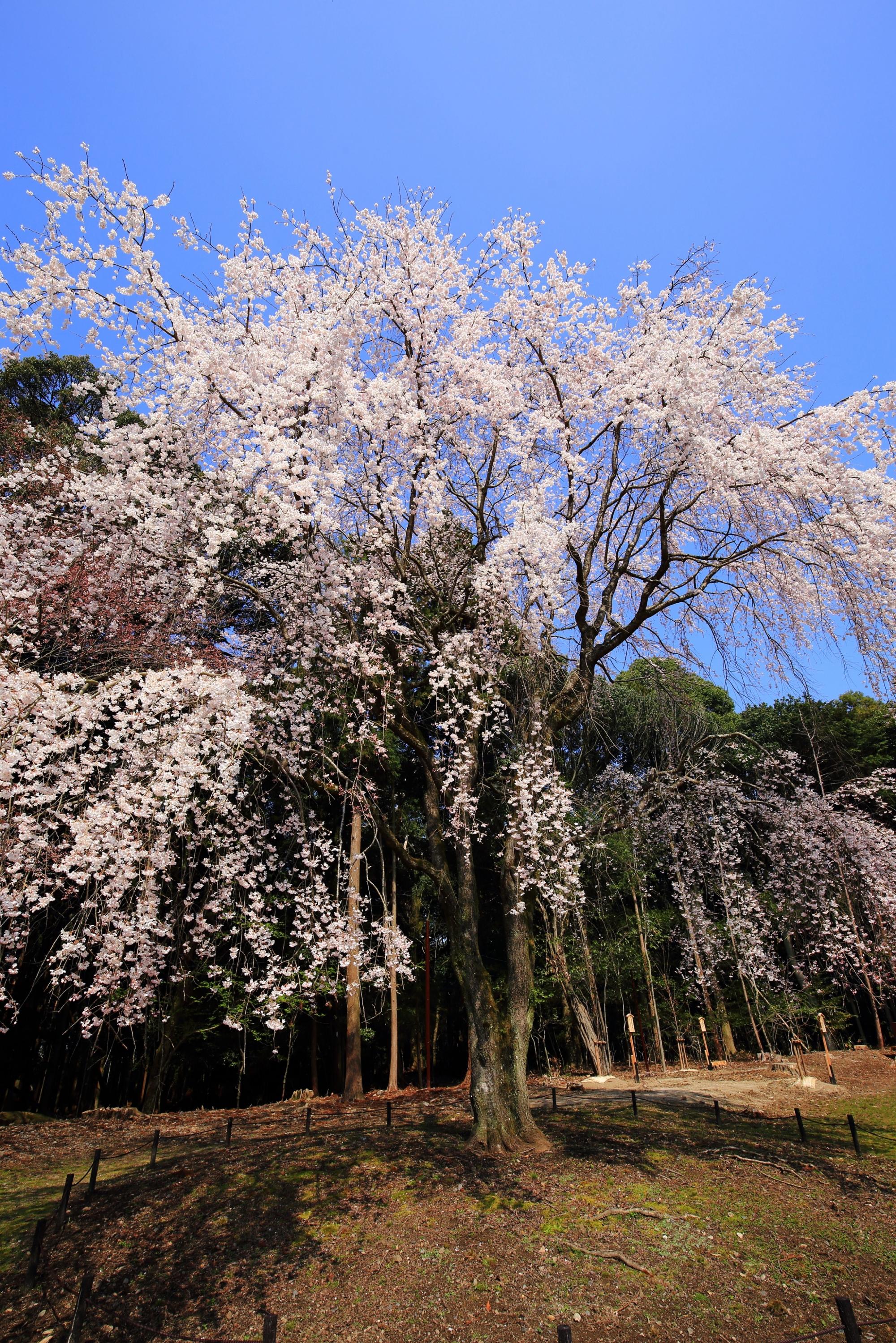 醍醐寺伽藍を代表する圧巻のしだれ桜