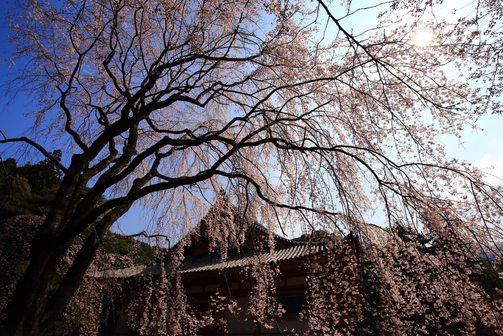 青空と金堂を春色に彩る煌びやかな桜