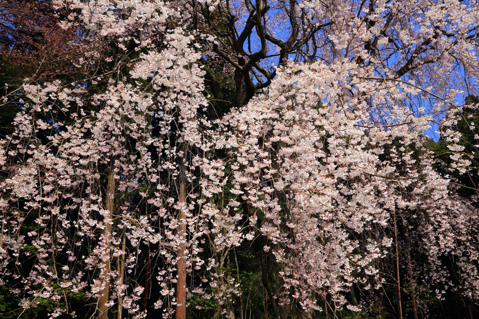 優雅に降り注ぐ満開の桜の花
