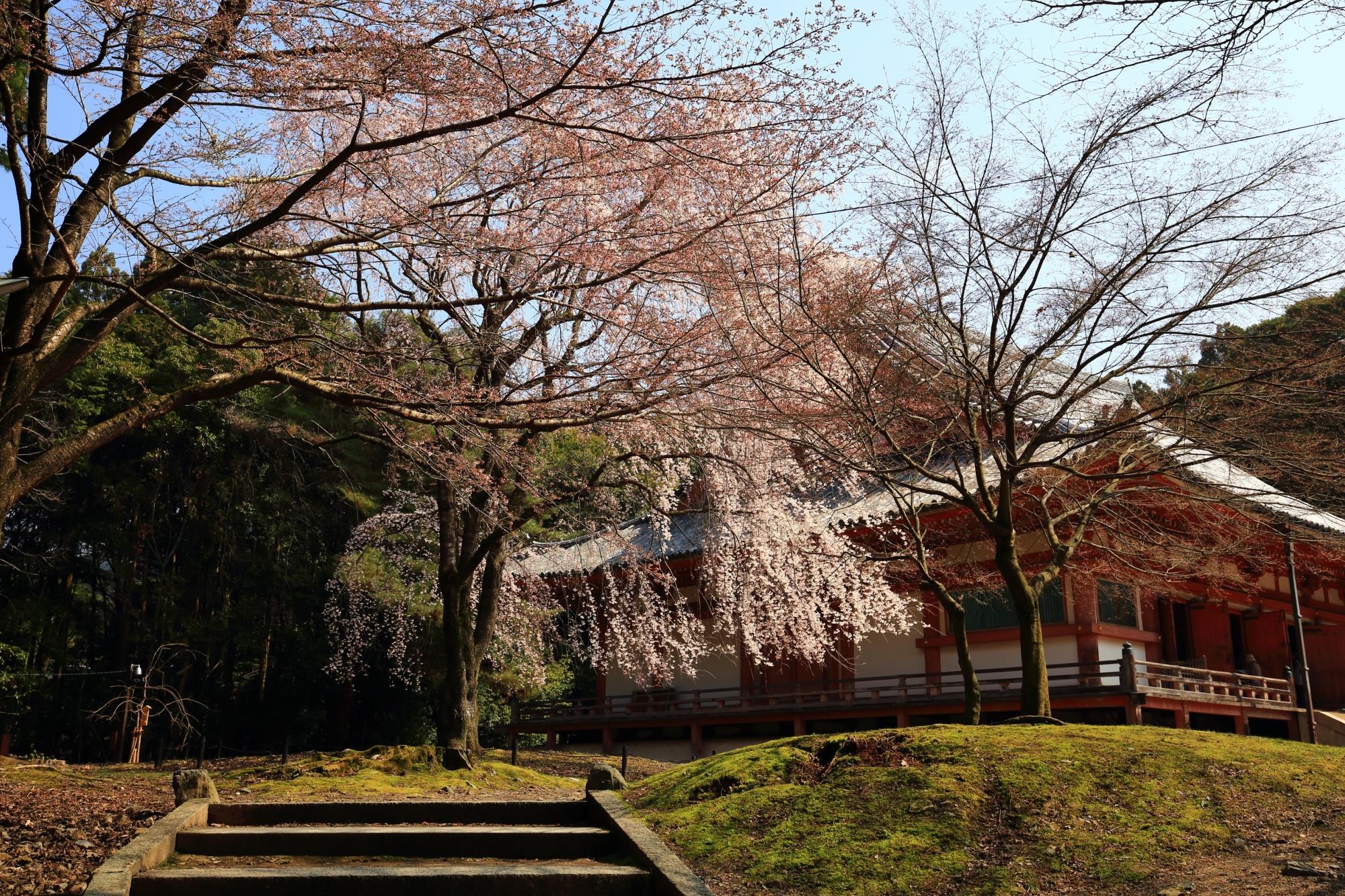 いろんな場所や角度から眺められる金堂横のしだれ桜