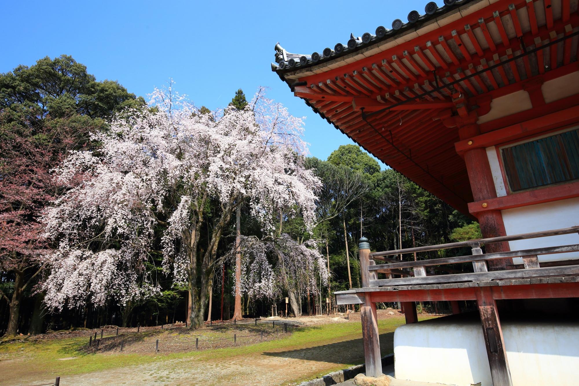 金堂の朱色と青空に映える華やかなしだれ桜