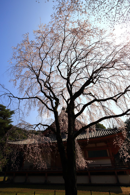 醍醐寺伽藍の素晴らしい桜と春の情景