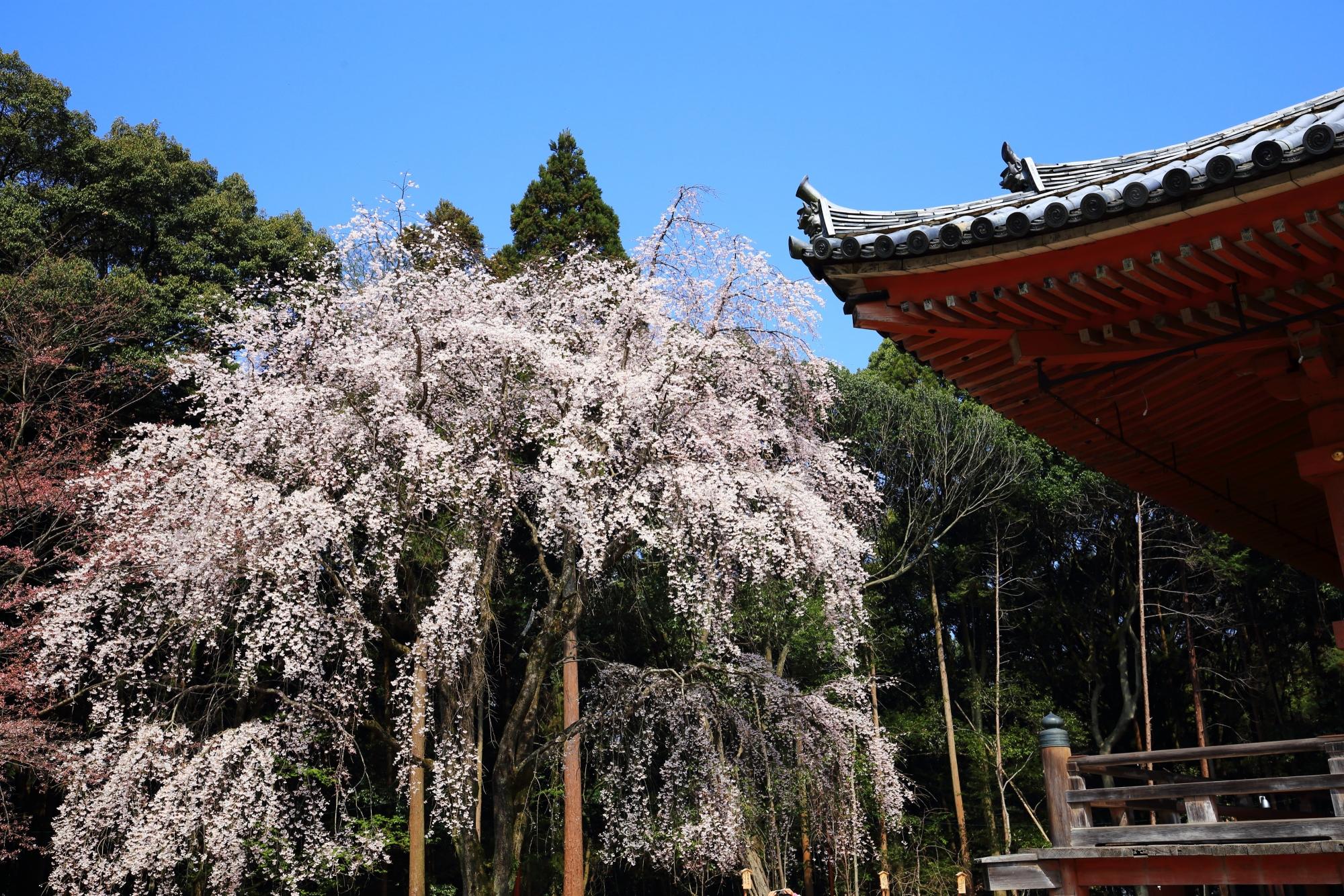 弾けんばかりに咲き誇る満開のしだれ桜と金堂