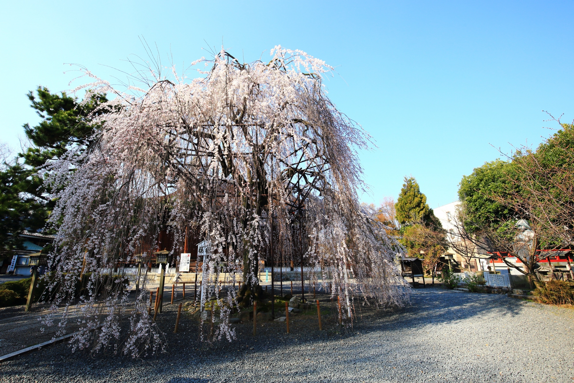 やや早咲きの阿亀桜