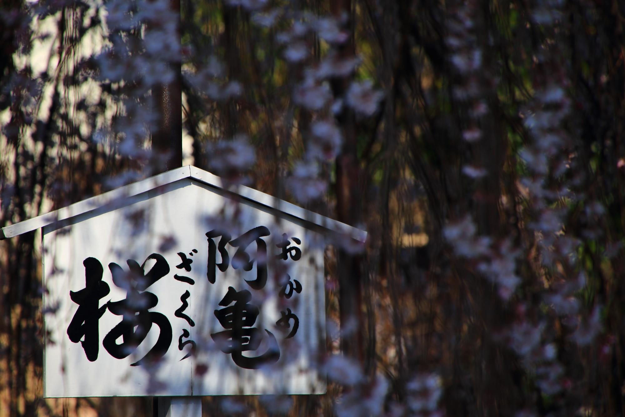 阿亀桜の立て札に降り注ぐ桜