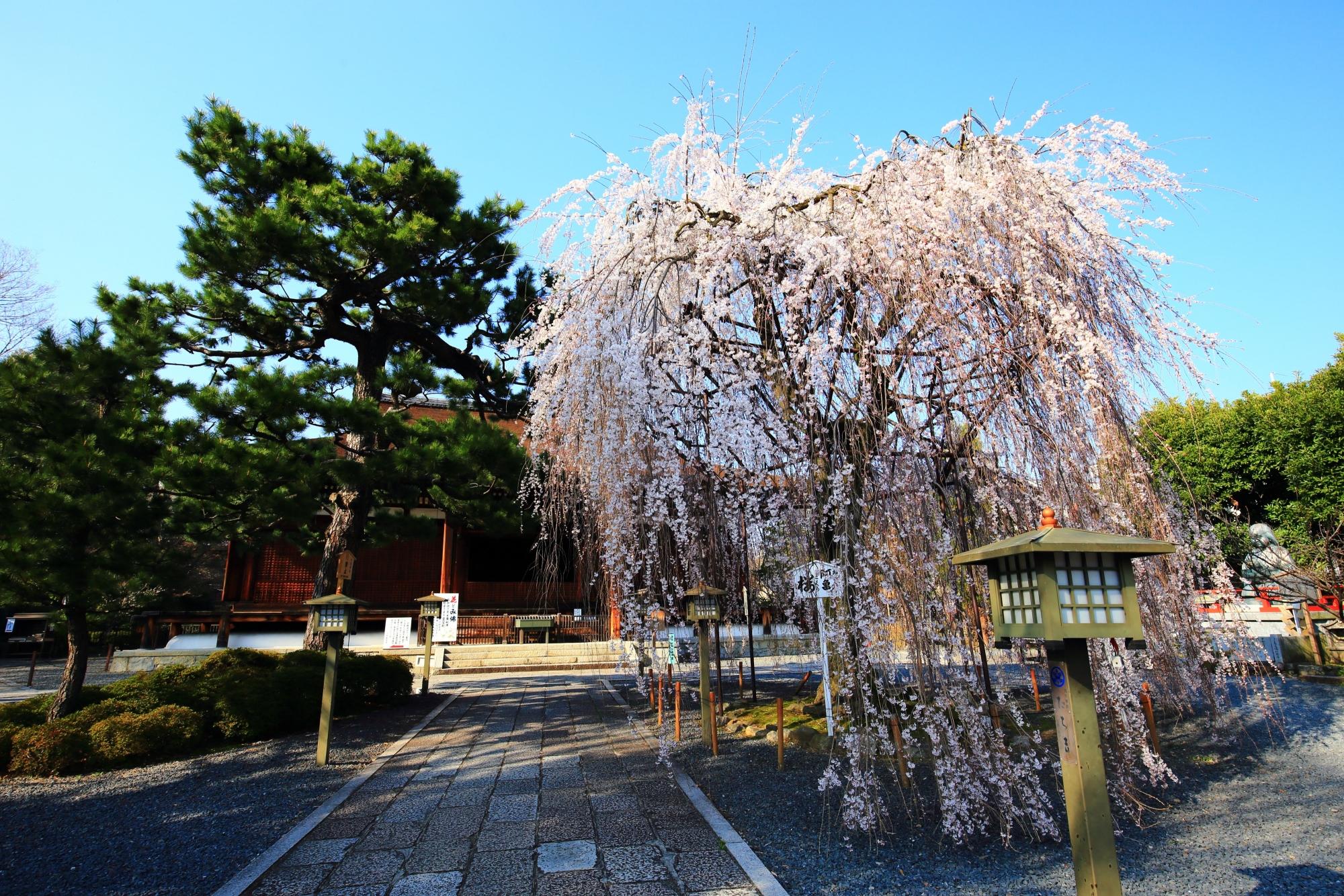 阿亀桜(おかめざくら)