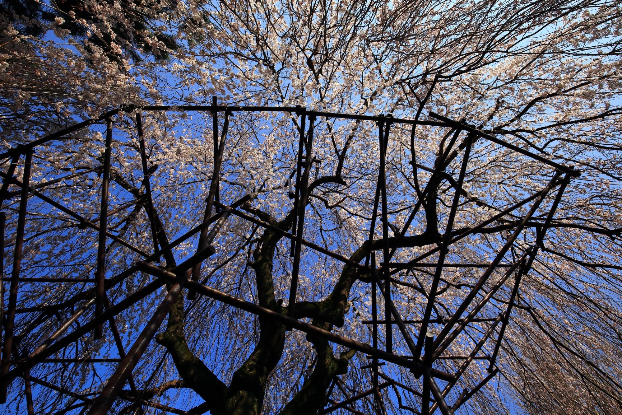 空を彩る美しいしだれ桜