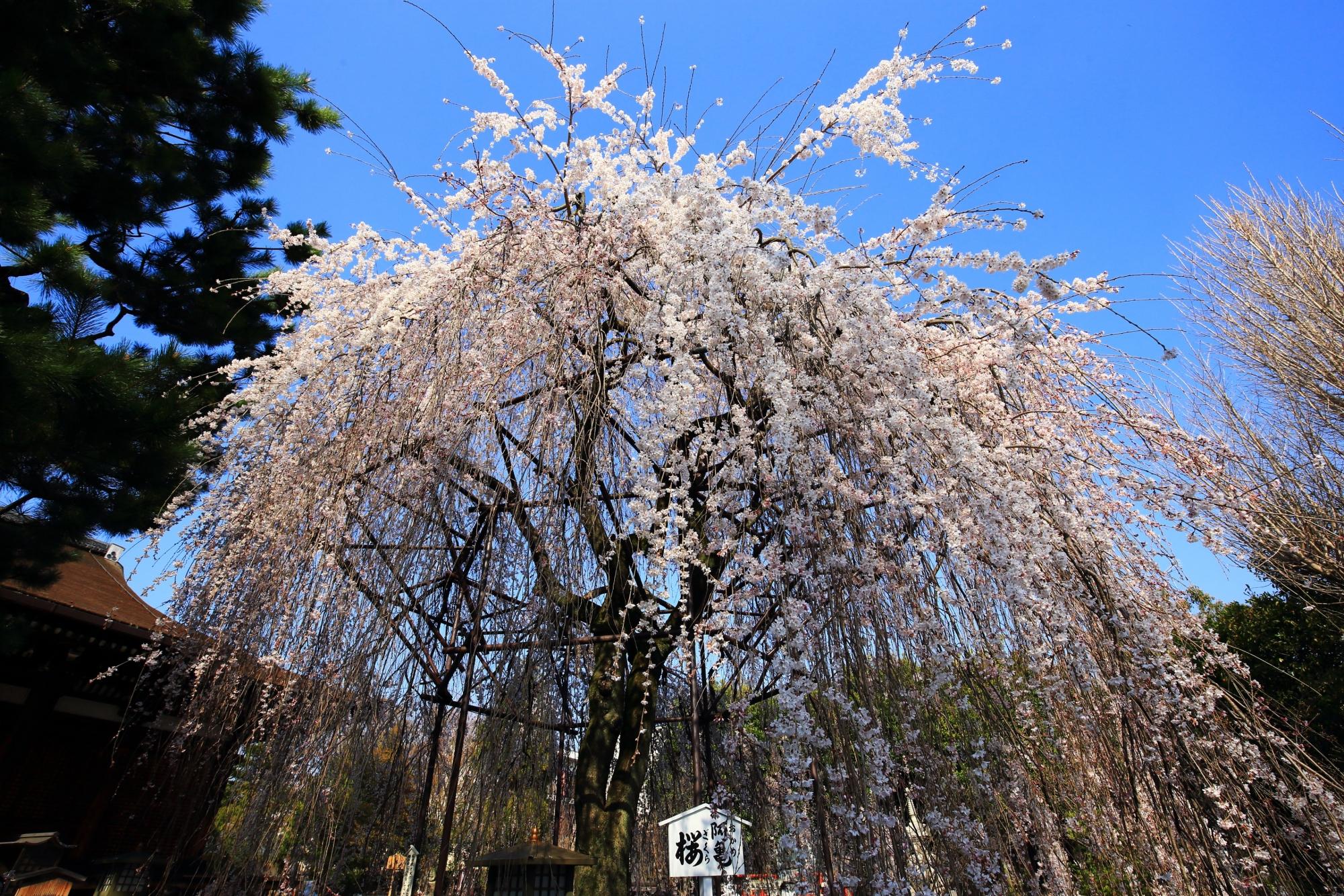千本釈迦堂の青空から降り注ぐしなやかな桜