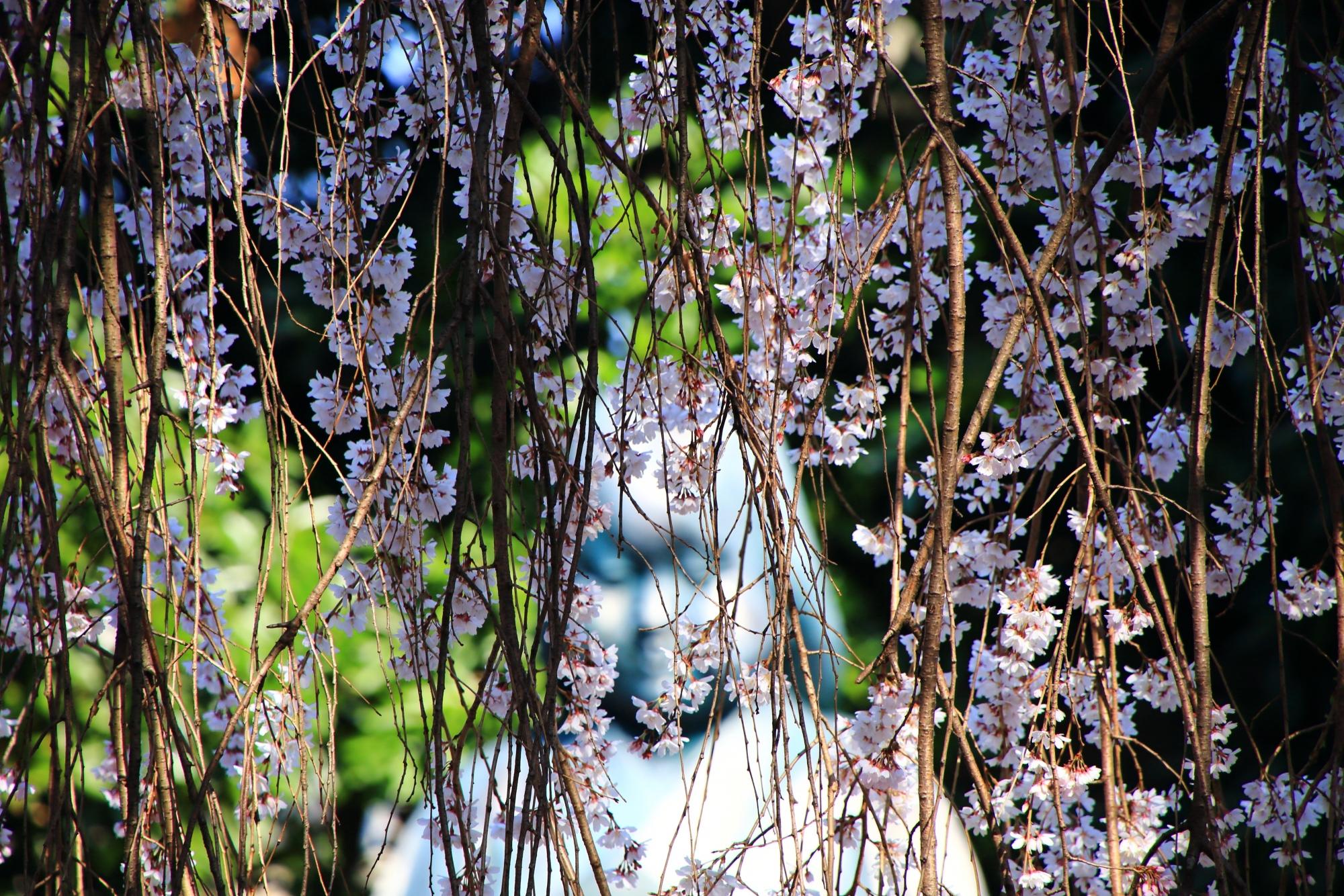 可愛い花をたくさんつける桜
