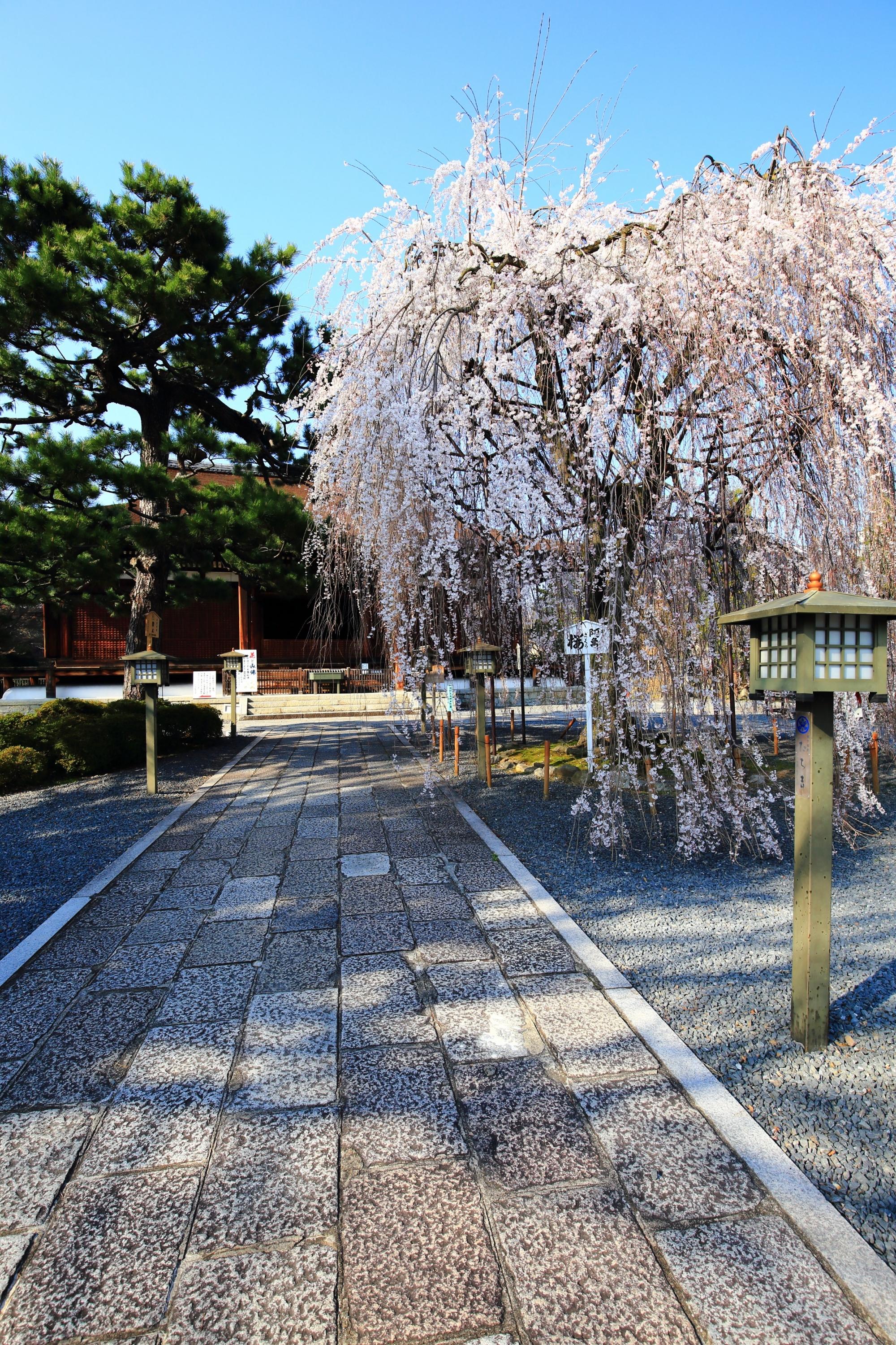本堂を背景にした非常に絵になる桜の風景