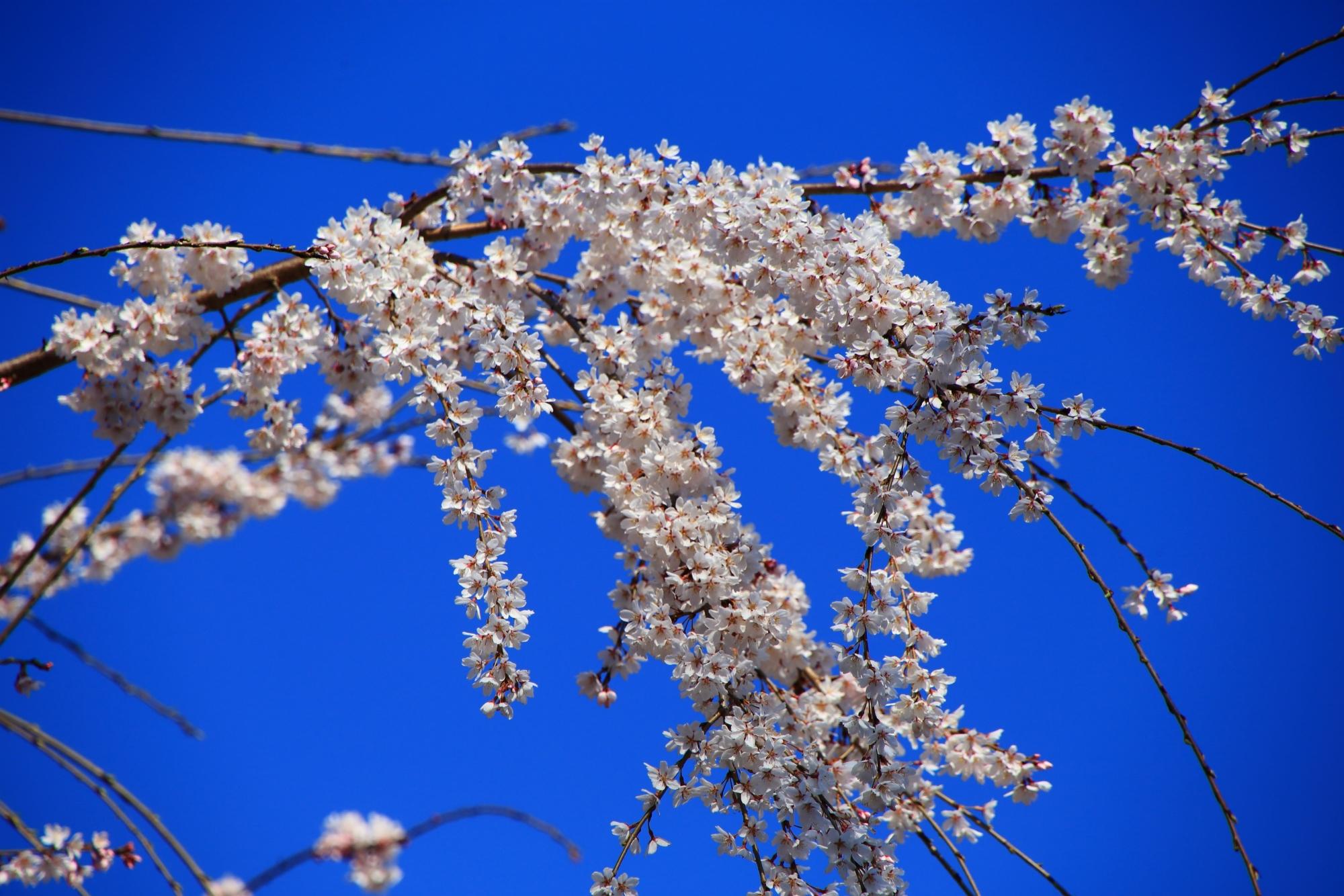 青空を春色に染める煌びやかな桜