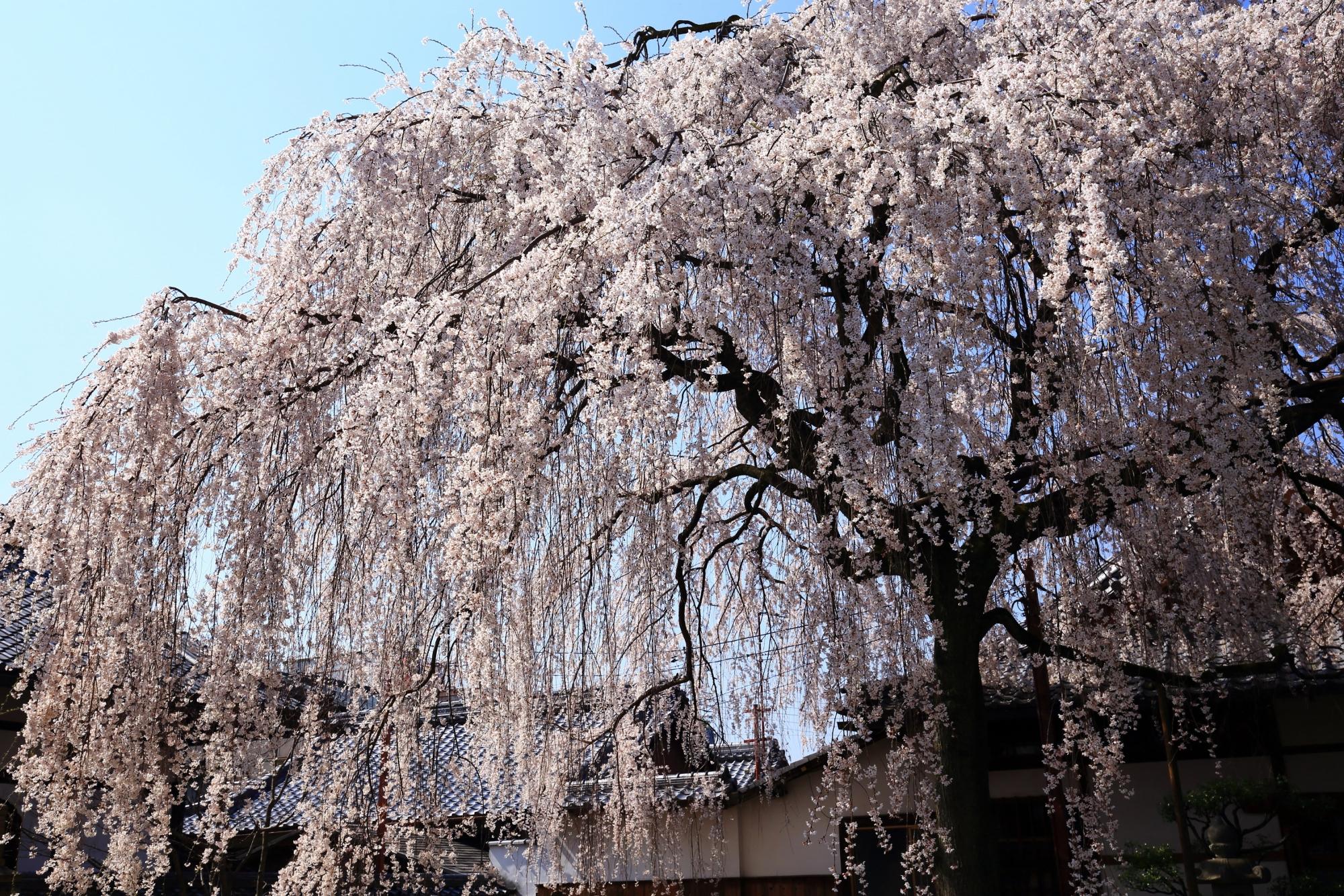 しなやかで繊細な雰囲気もする桜