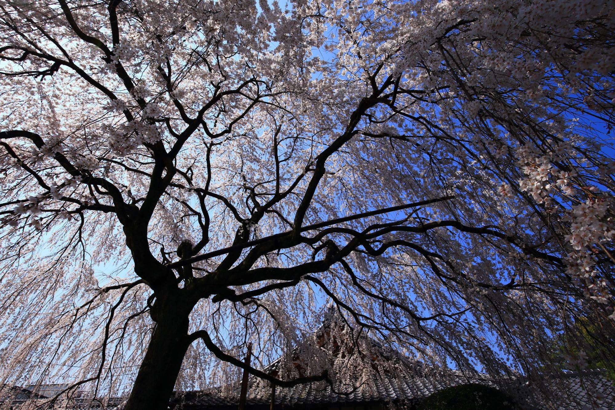 空を覆う圧巻のしだれ桜
