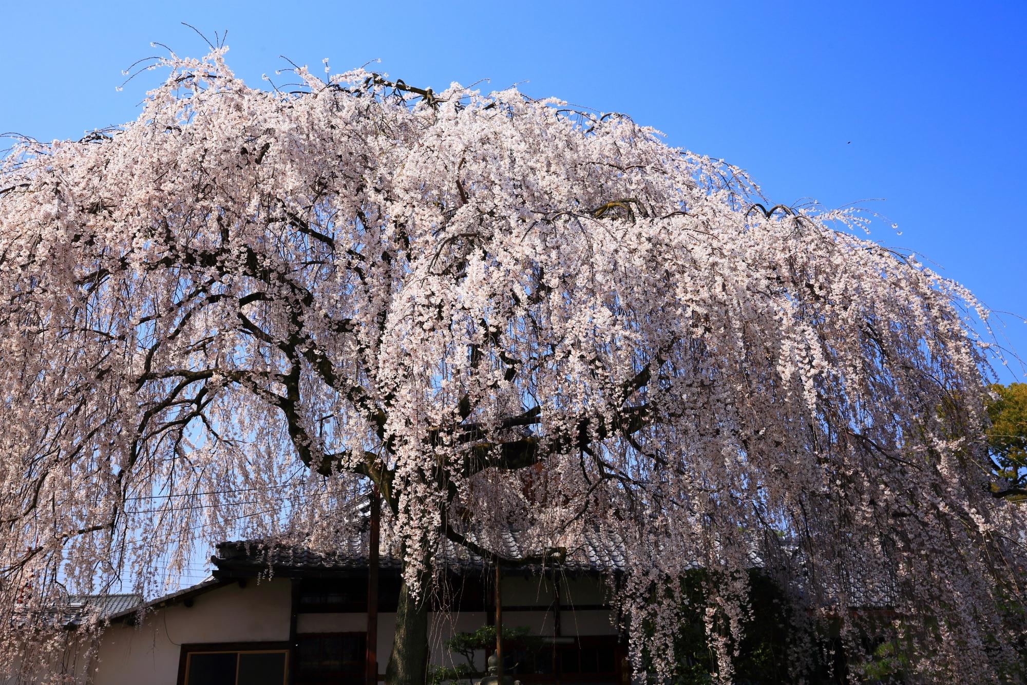 高画質 写真 本満寺 しだれ桜