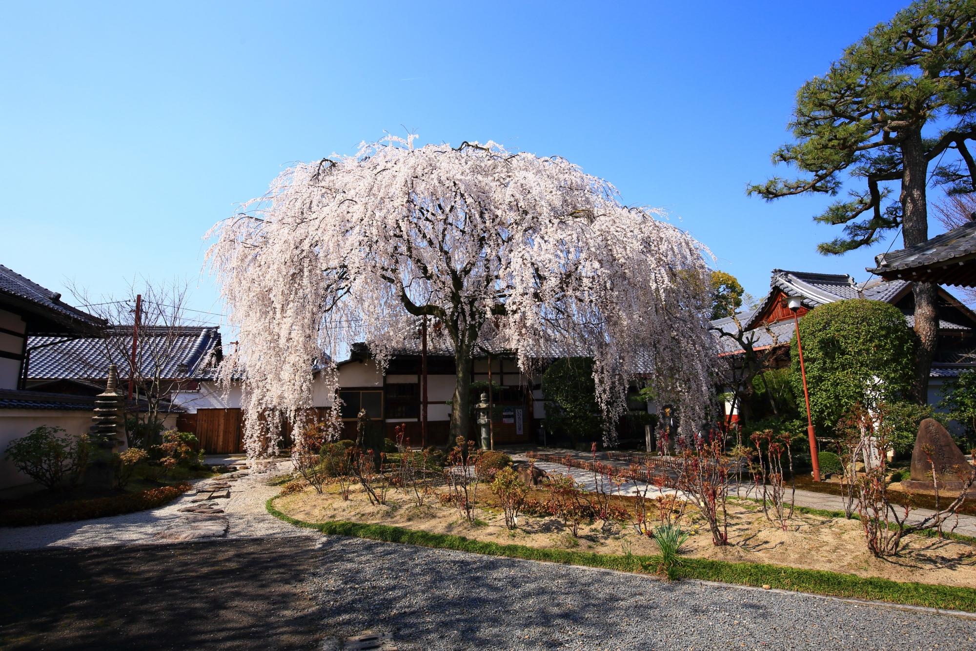 円形の美しい形でしられるしだれ桜