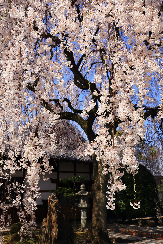 降り注ぐ華やかな桜