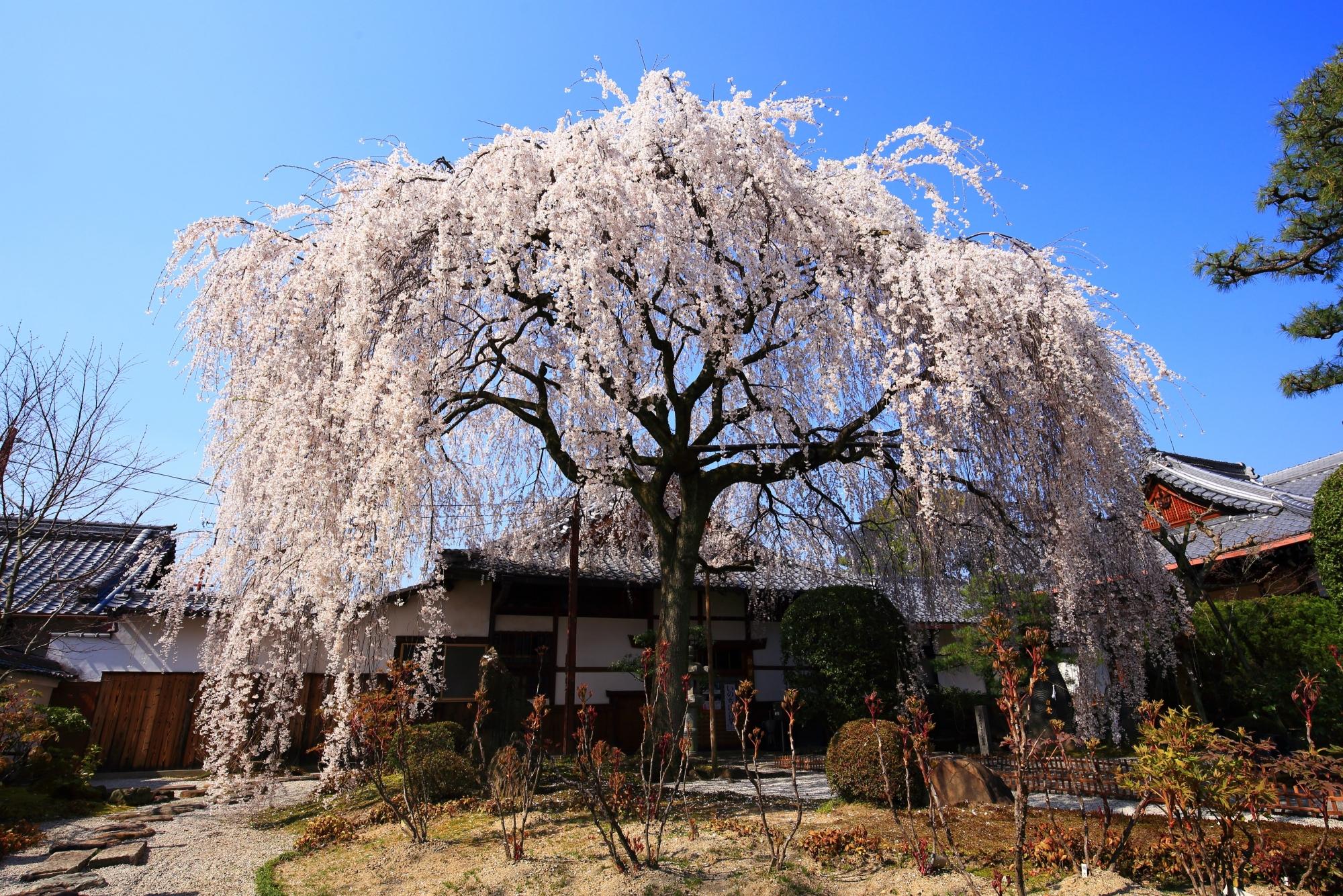 本満寺の美しすぎる円形のしだれ桜