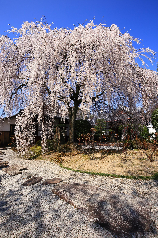 周辺は小さな枯山水庭園になっており非常に絵になる桜