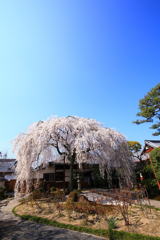 本満寺の素晴らしいしだれ桜と春の情景