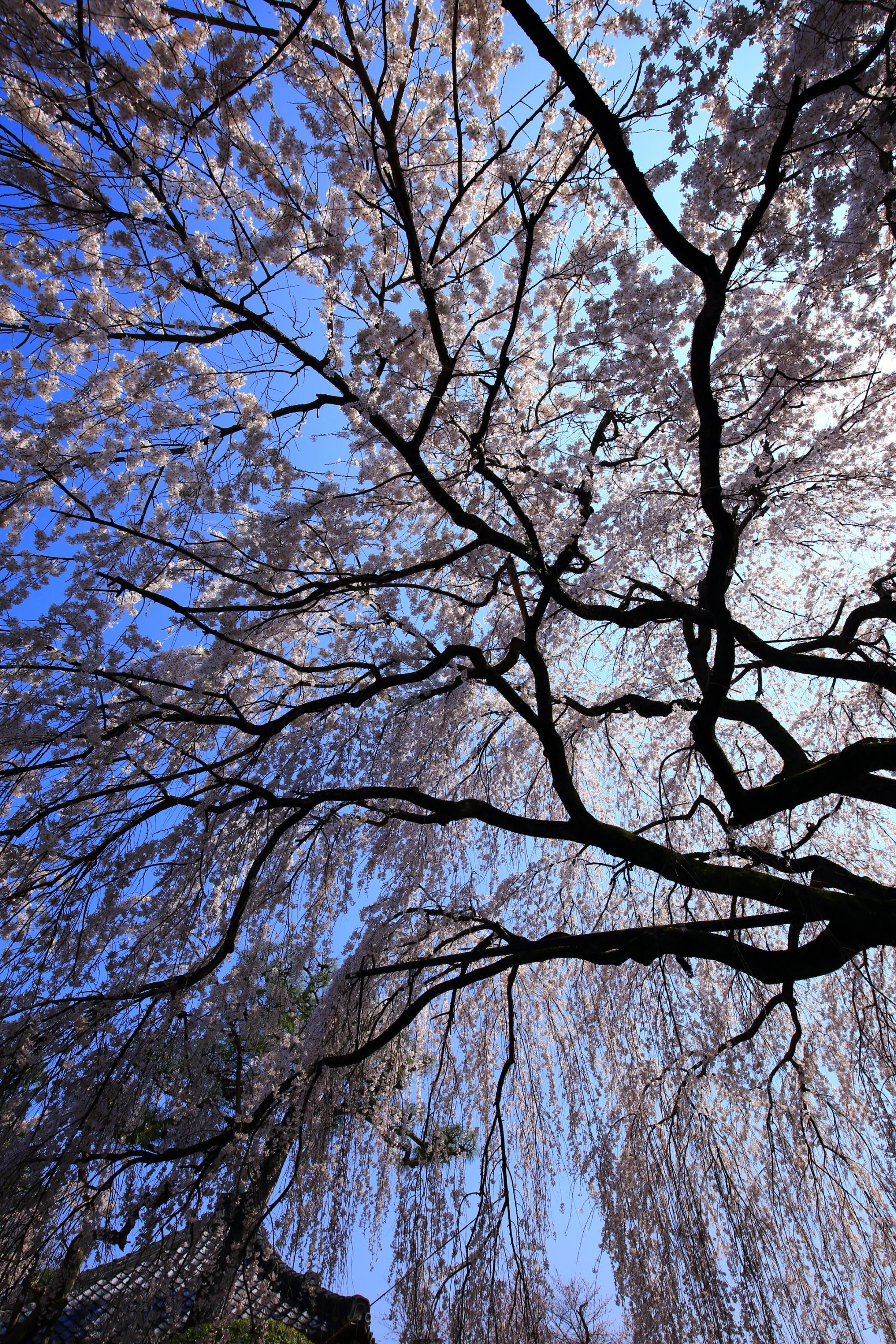 空を豪快に染める見事なしだれ桜
