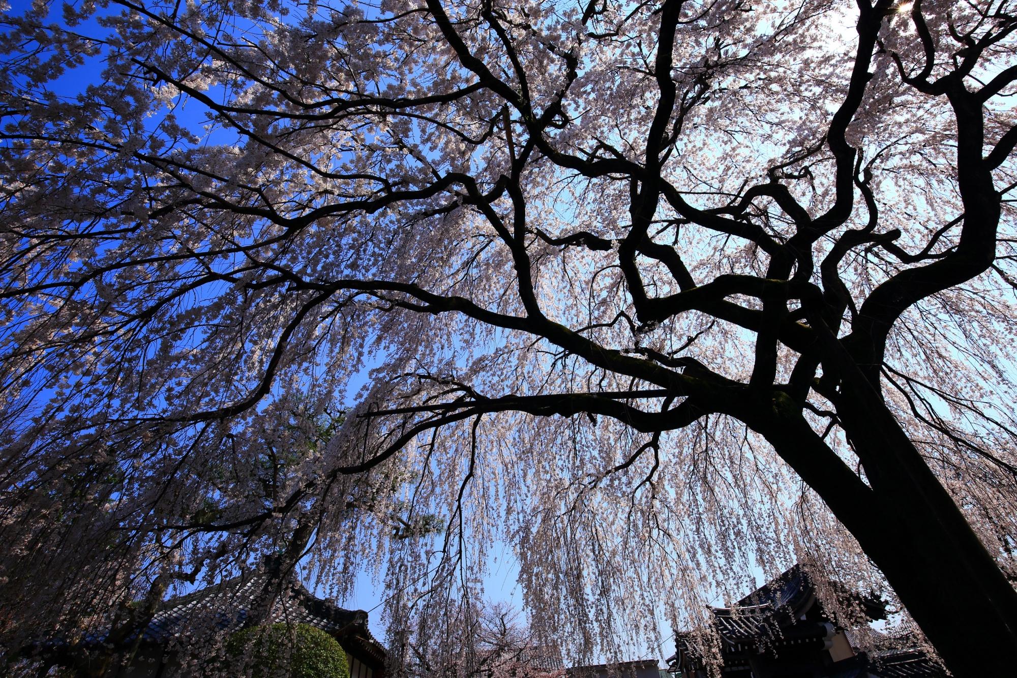 枝も芸術的なしだれ桜