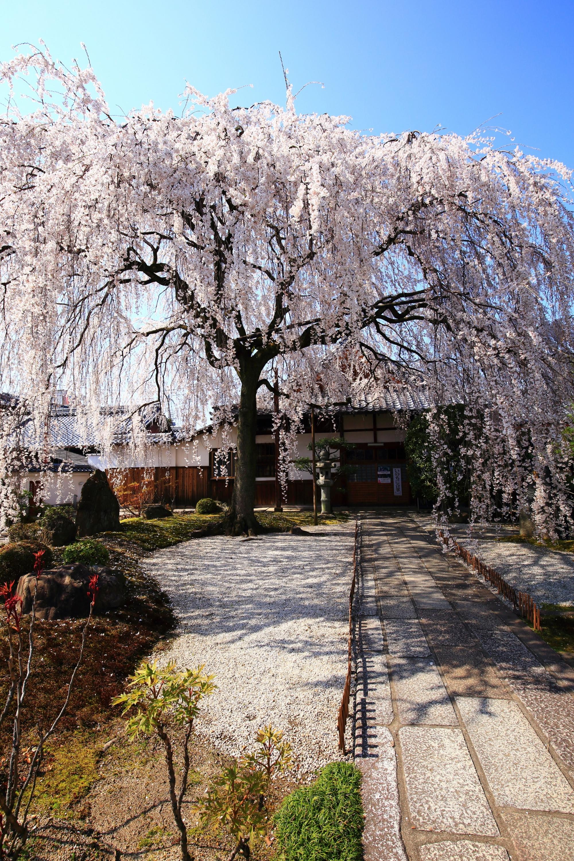 境内を春色に彩る極上のしだれ桜