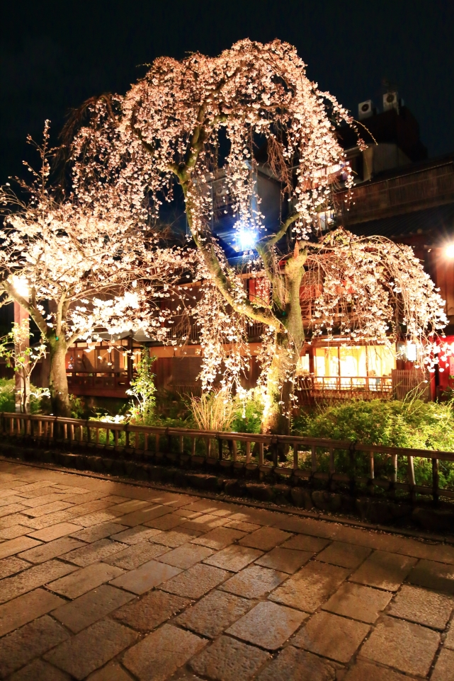 Gion-Shirakawa Kyoto cherry blossoms light-up spring 祇園白川 満開 しだれ桜 ライトアップ