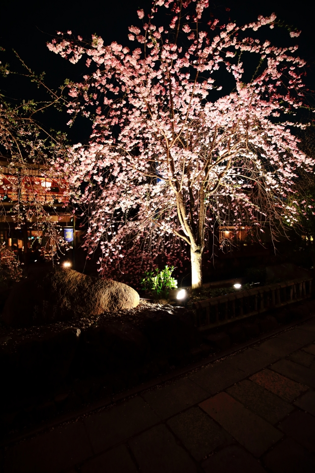 Kyoto Gion Shirakawa weeping cherry tree light up spring ぎおんしらかわ 満開 桜 ライトアップ 春