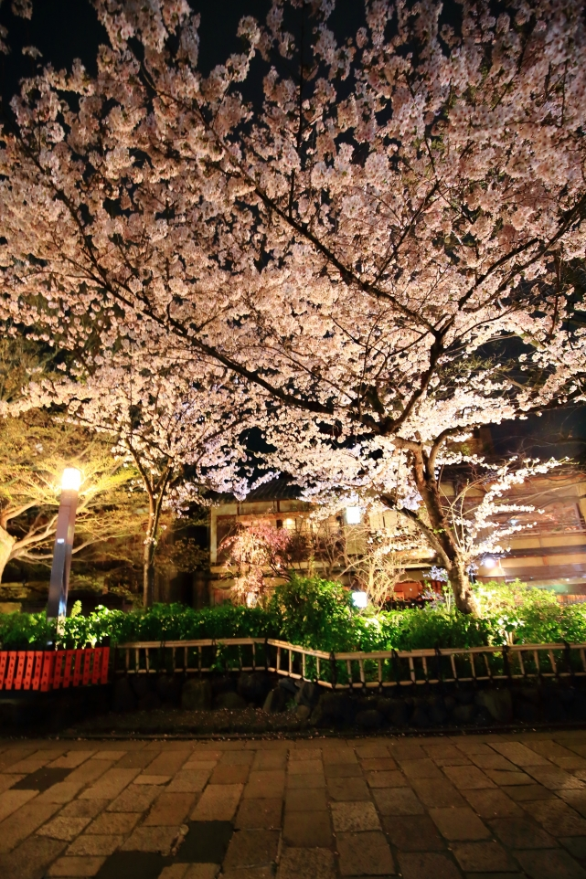 Gion Shirakawa Kyoto light up cherry blossoms spring 祇園白川 巽橋 満開 桜 ライトアップ