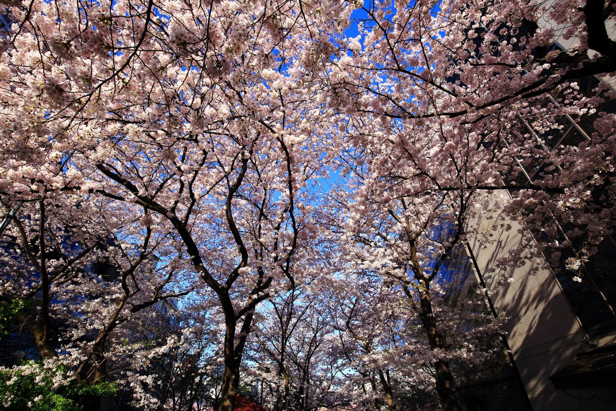 ピンクの花が弾け飛びそうなくらいの満開の桜