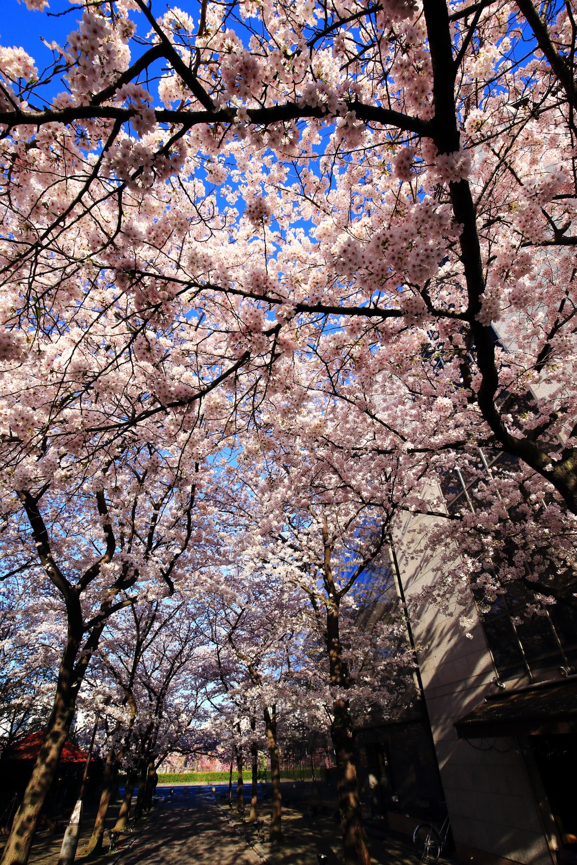 圧巻の春色の桜の天井