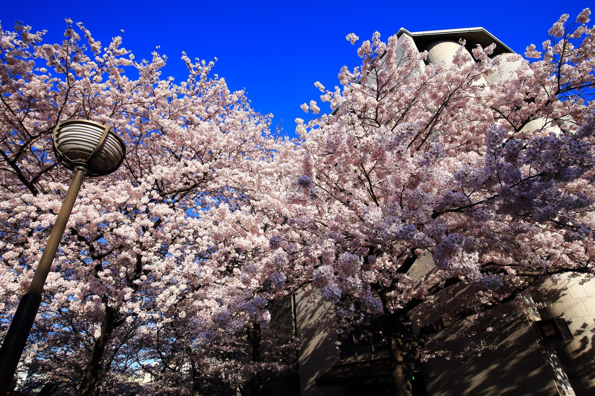 青空を豪快に彩る祇園白川の華やかな桜