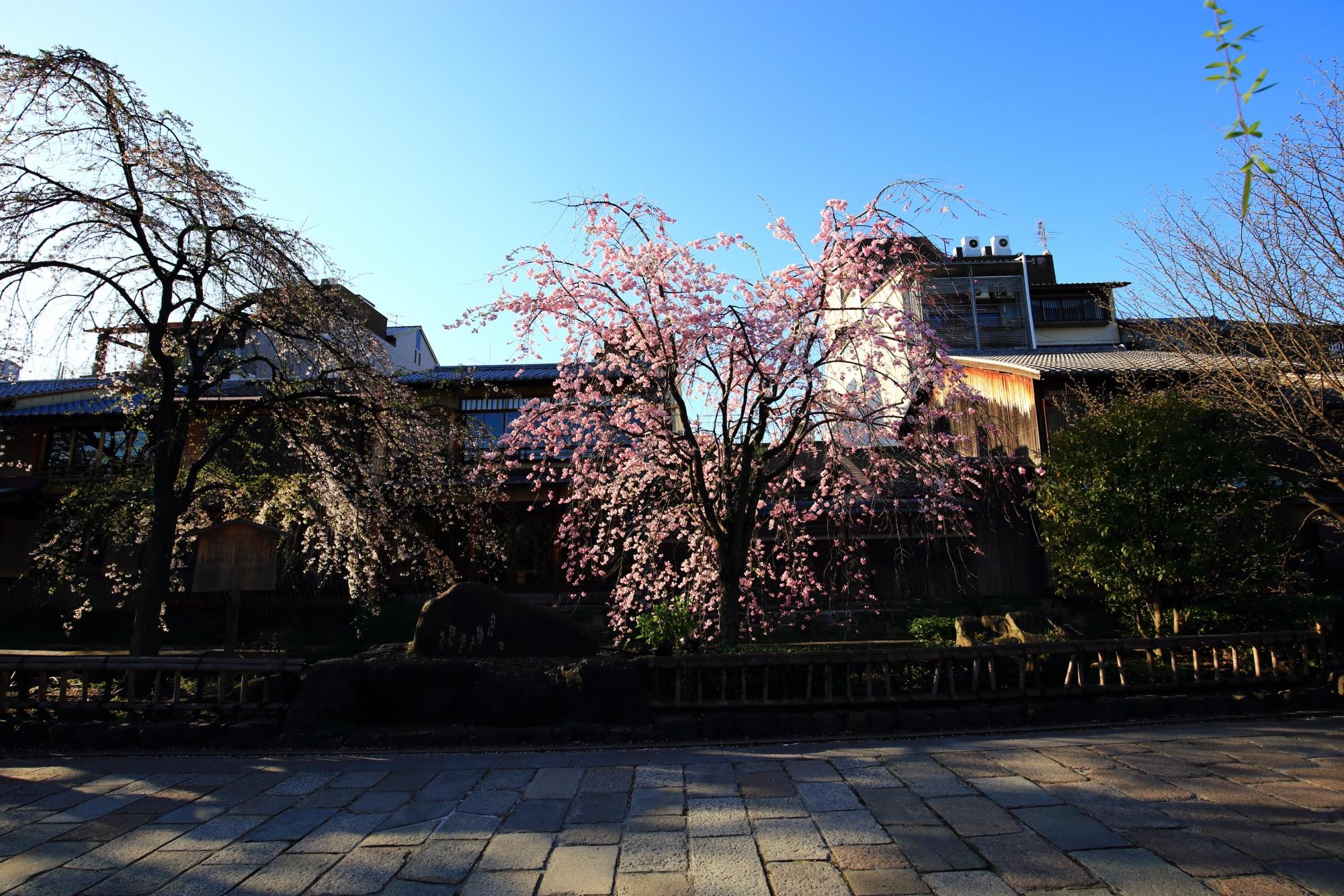 かにかくに碑付近の優雅に咲くしだれ桜