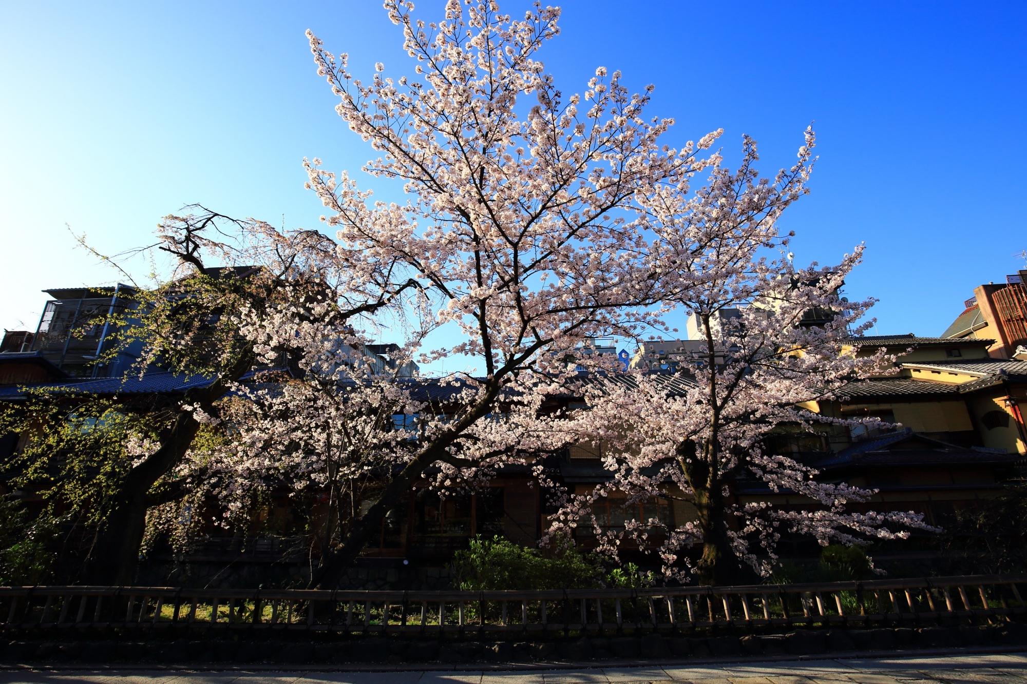 大和大路通を東へ少し入ったあたりの青空に向かって咲き誇る見事な桜