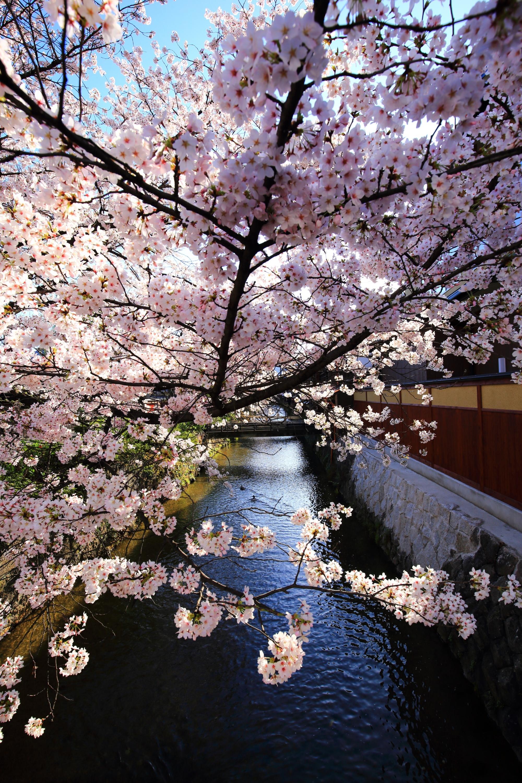 白川と風情ある街並みを春色に染める満開の桜