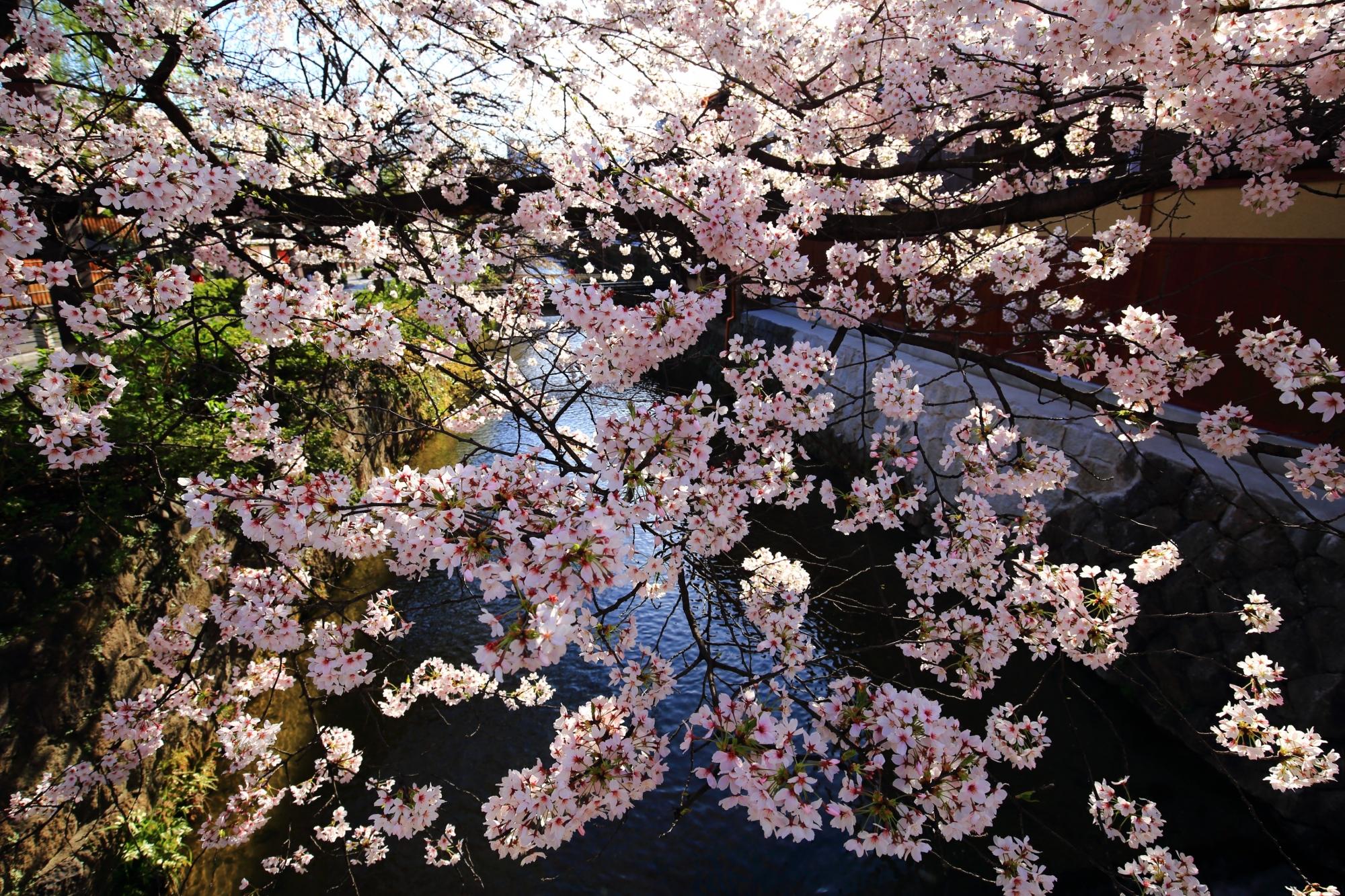 水辺を彩る夢のようにふわふわした桜