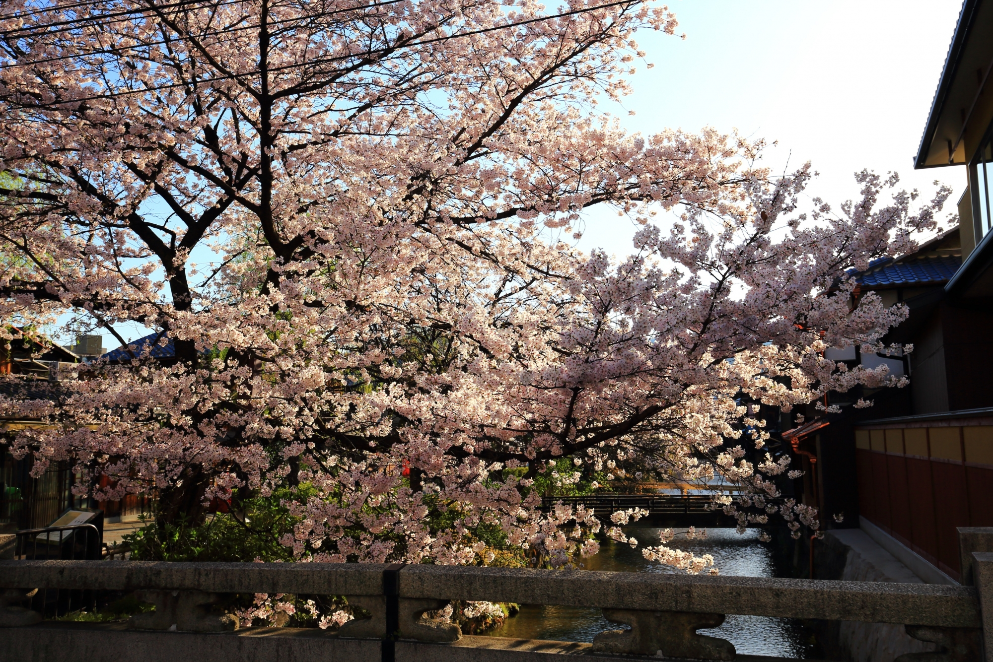 大和大路通から眺めた白川の桜