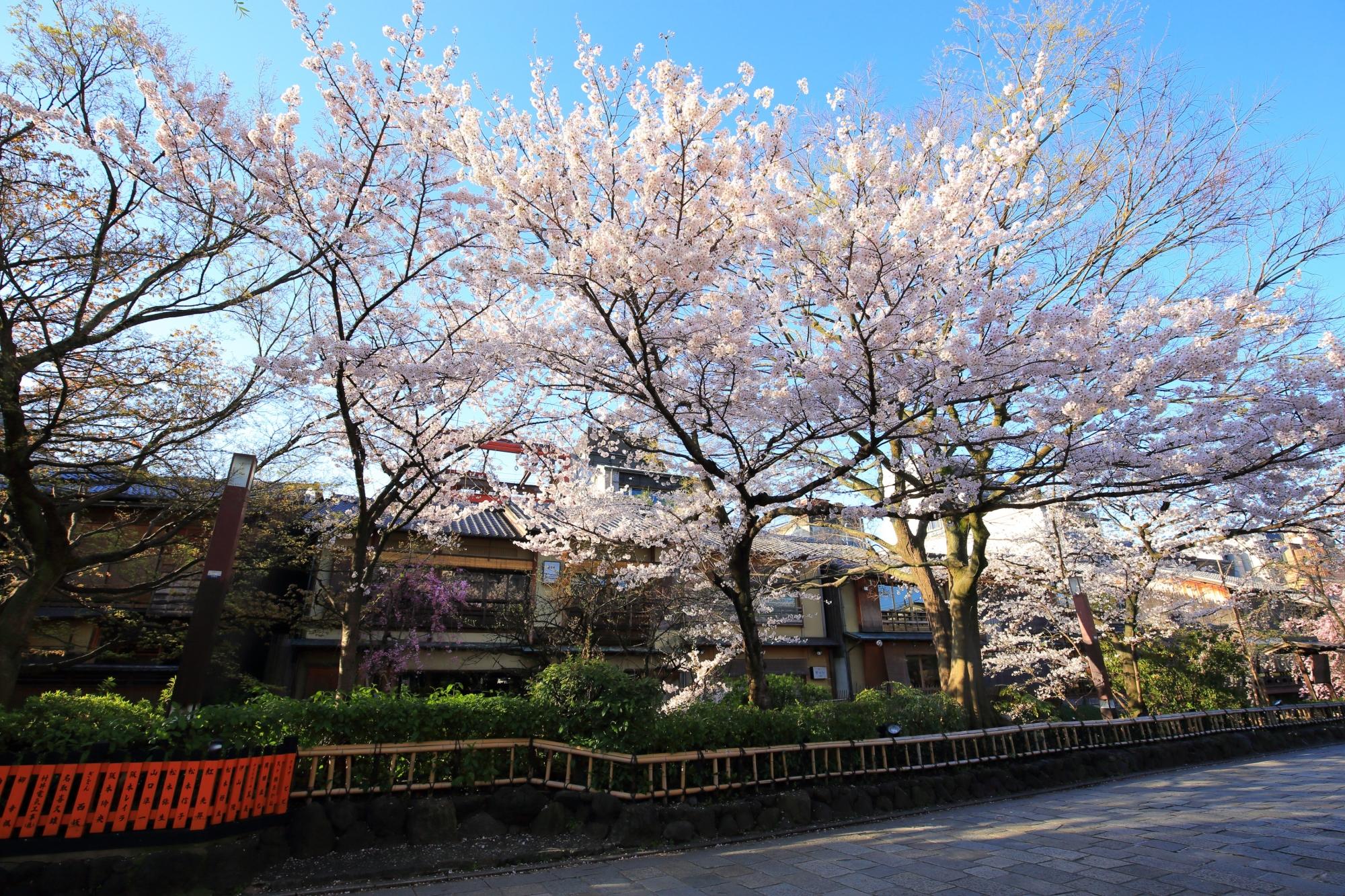 祇園白川の快晴の空を春色に染める圧倒的な桜
