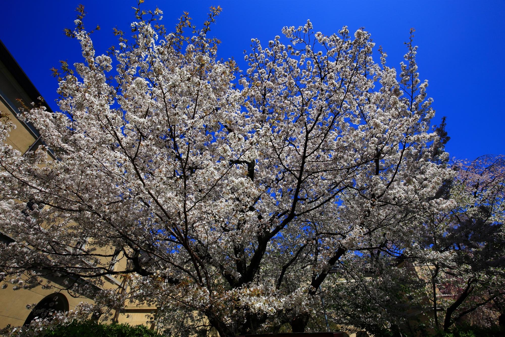 最高の青空に映える華やかな桜
