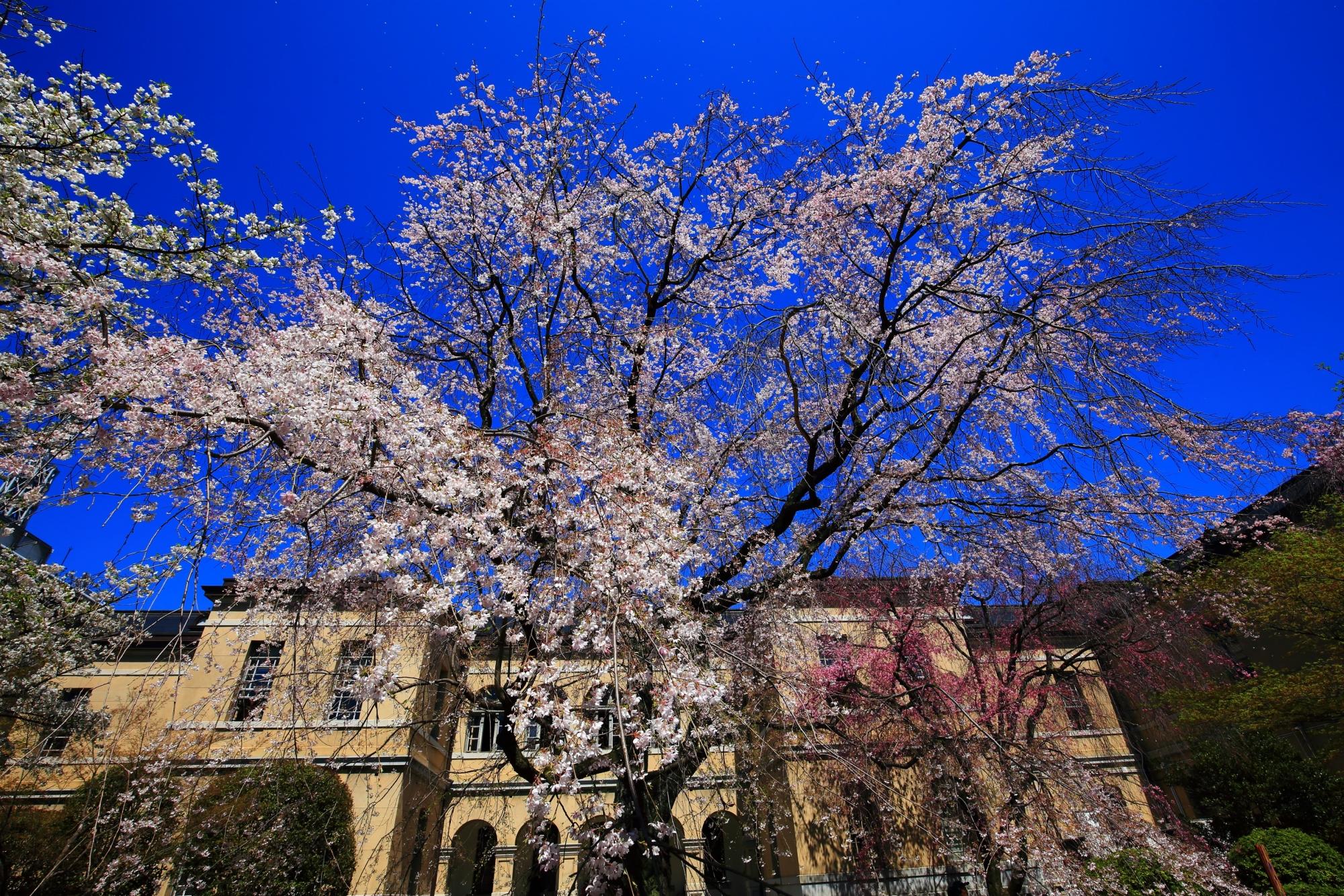 1階から眺めた中庭の桜
