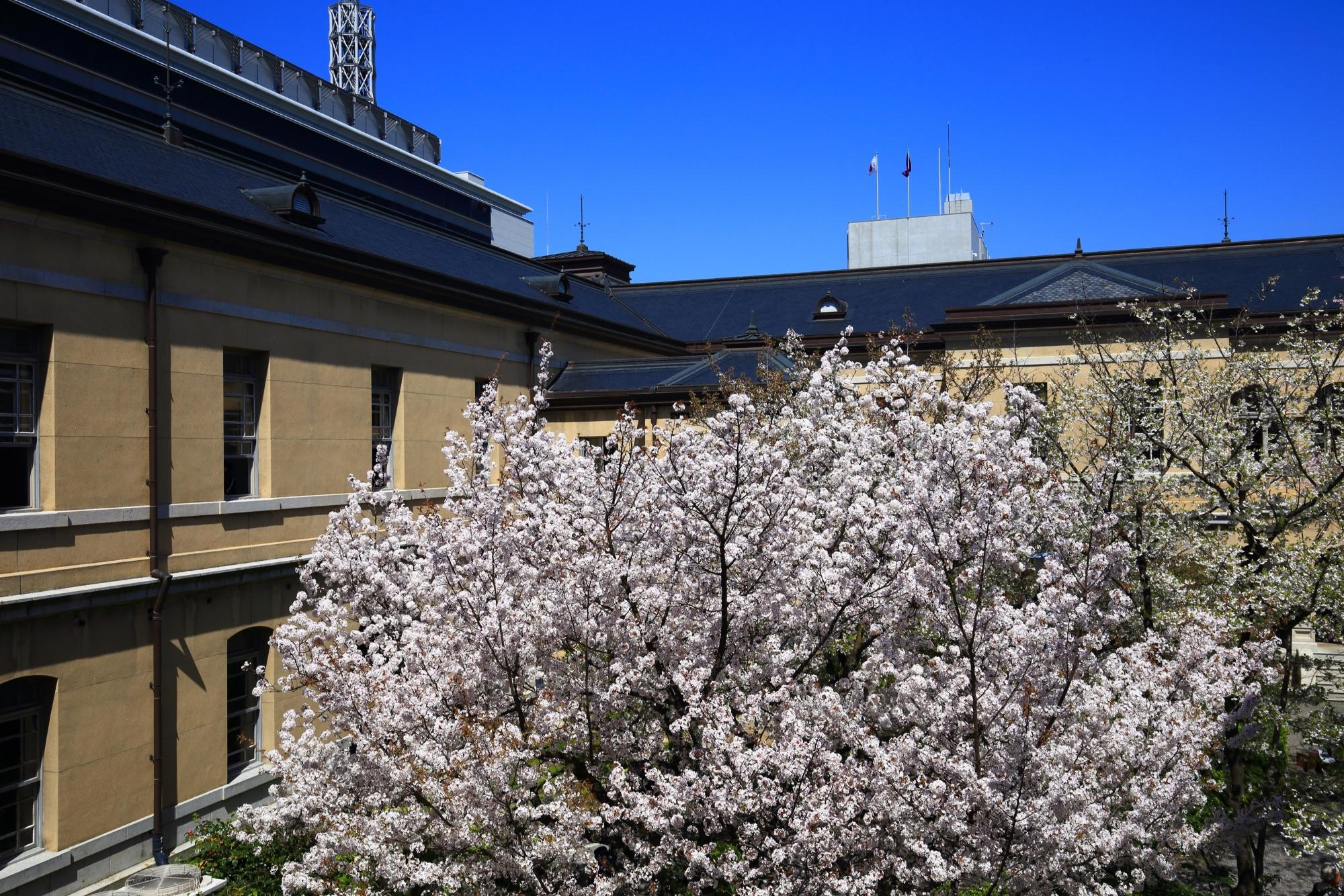 窓を開けて見下ろす弾けんばかりの満開の桜とレトロな建物