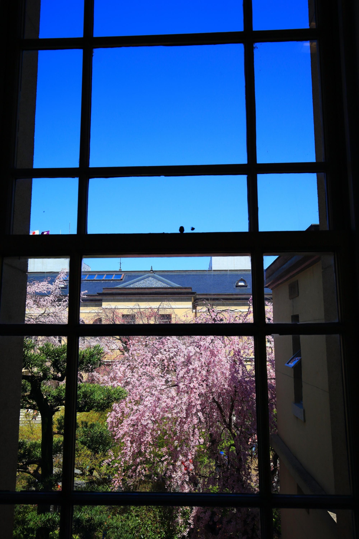 窓越しの青空の下で華やぐピンクの桜