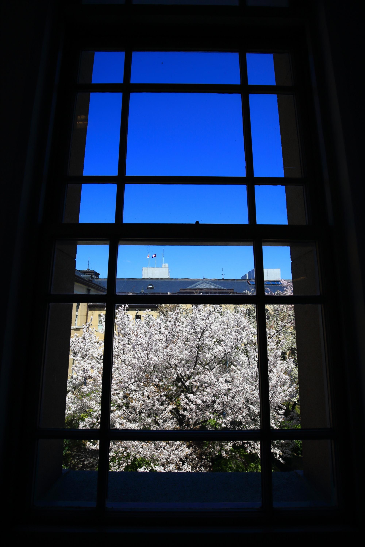 窓越しに眺めた青空の下で咲き誇る桜