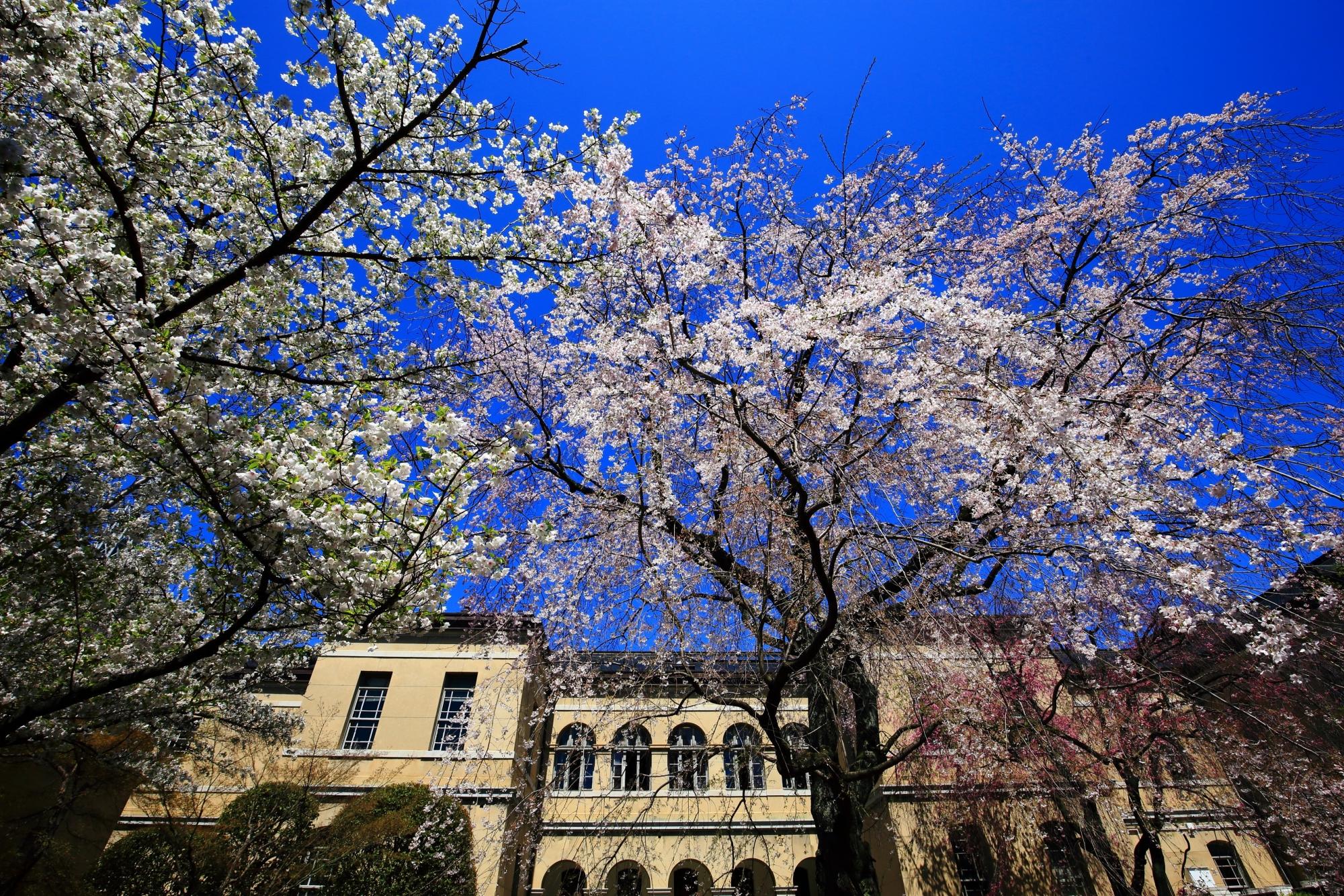 青空から降り注ぐ見事な桜