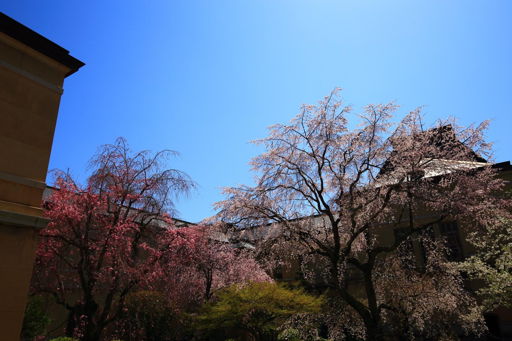 桜の種類も多い隠れた桜の名所の京都府庁旧本館