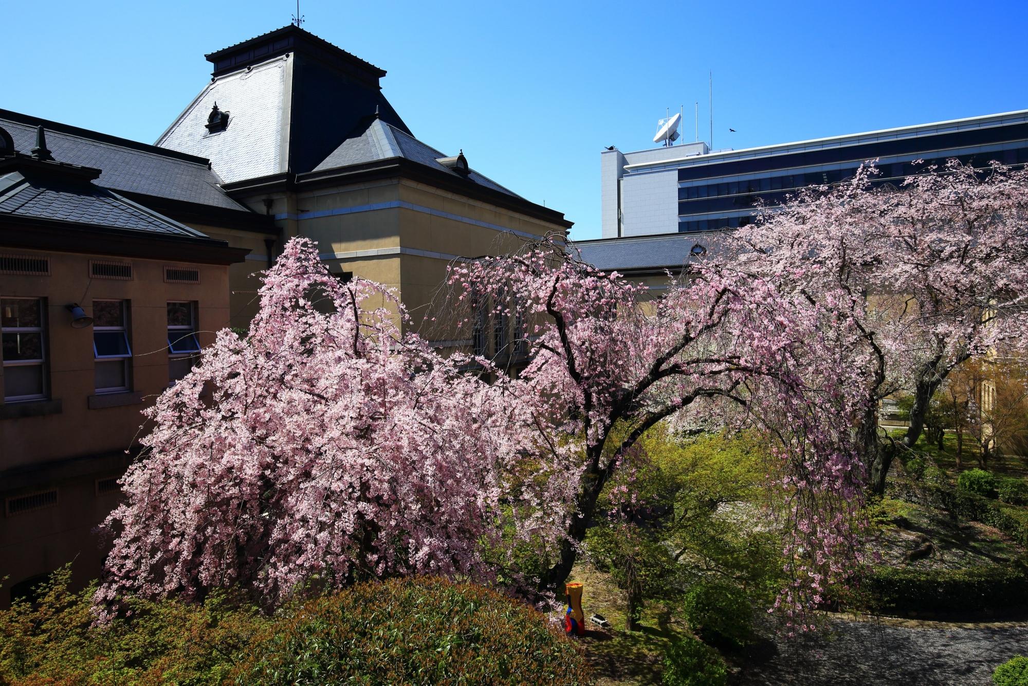 中庭を春色に彩る咲き乱れる桜