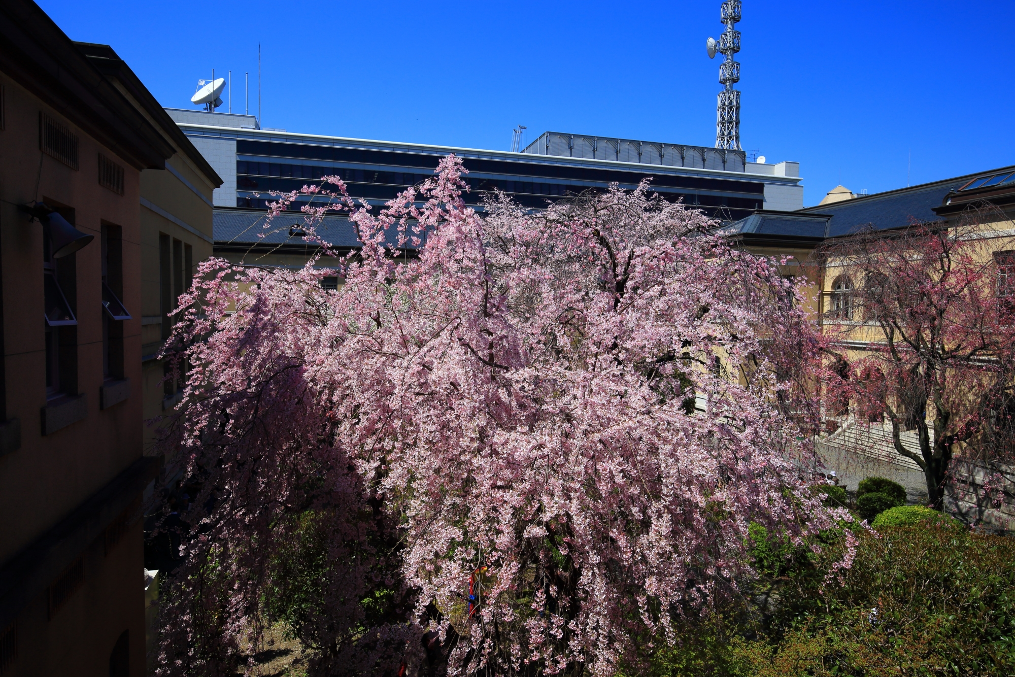 近代建築に囲まれた溢れ出すピンクのしだれ桜