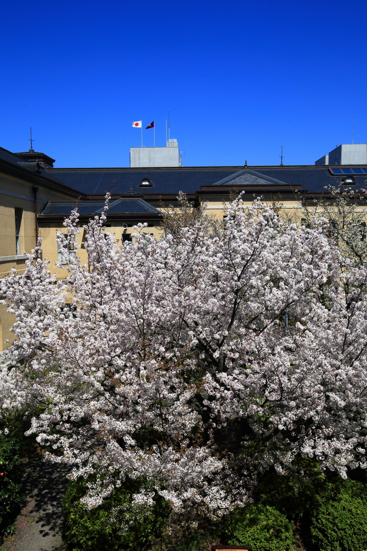 春色につつまれる京都府庁旧本館の中庭
